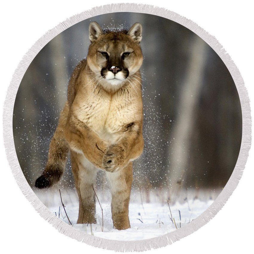 Felis Concolor Round Beach Towel featuring the photograph Cougar by Linda Freshwaters Arndt