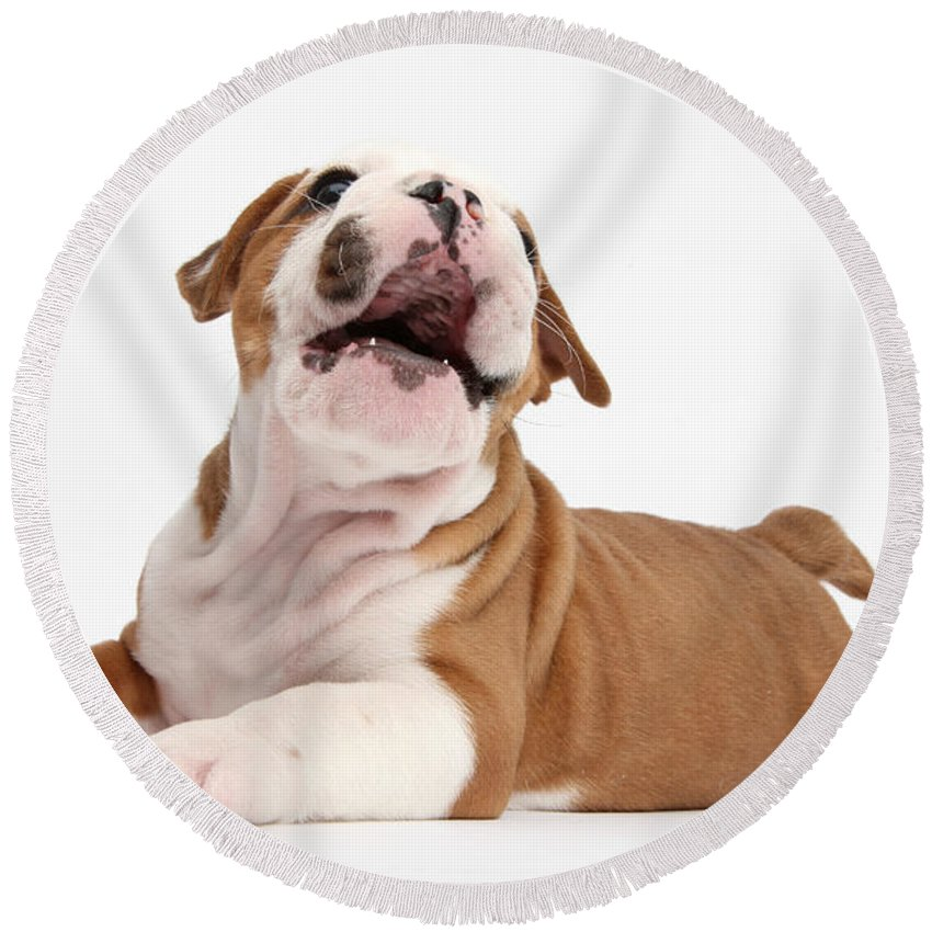 Nature Round Beach Towel featuring the photograph Bulldog Pup by Mark Taylor