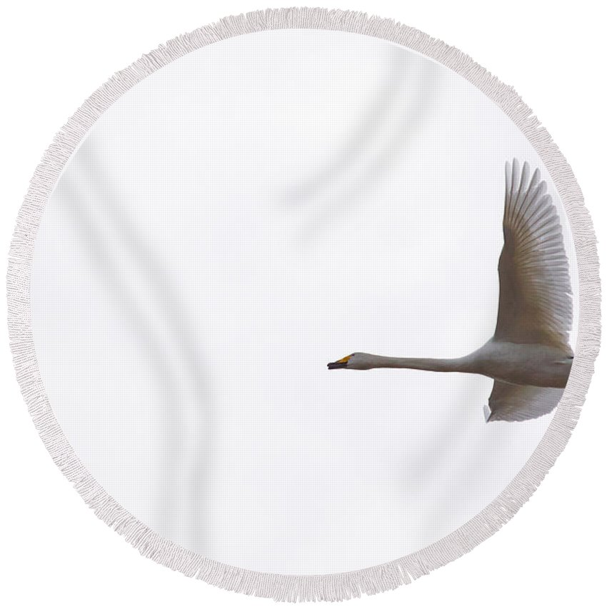 Finland Round Beach Towel featuring the photograph Whooper Swan by Jouko Lehto