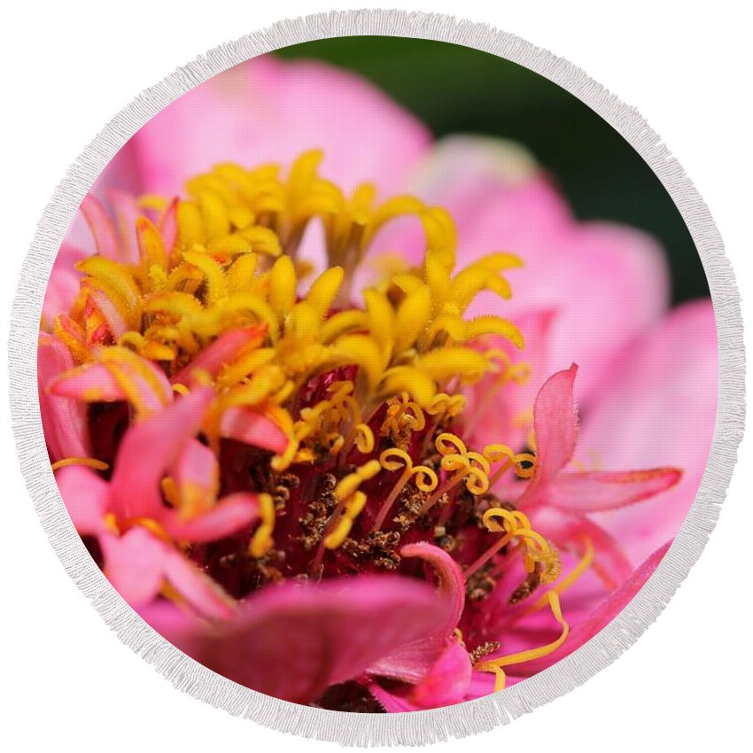 Mccombie Round Beach Towel featuring the photograph Zinnia From The Candy Mix by J McCombie