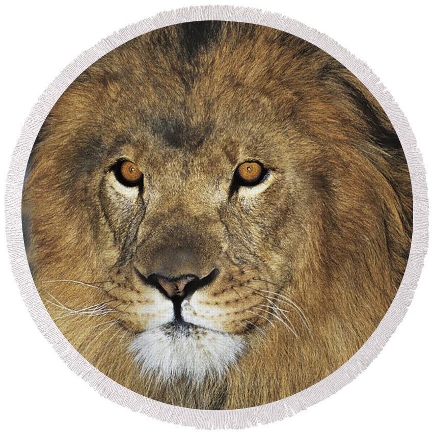 African Lion Round Beach Towel featuring the photograph African Lion Portrait Wildlife Rescue by Dave Welling