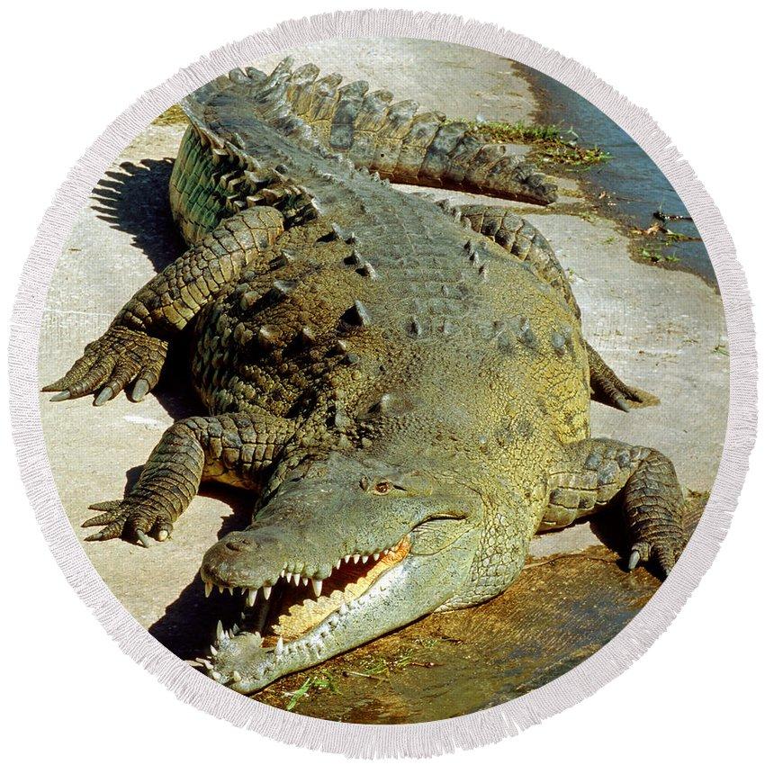 American Crocodile Round Beach Towel featuring the photograph American Crocodile by Millard H. Sharp