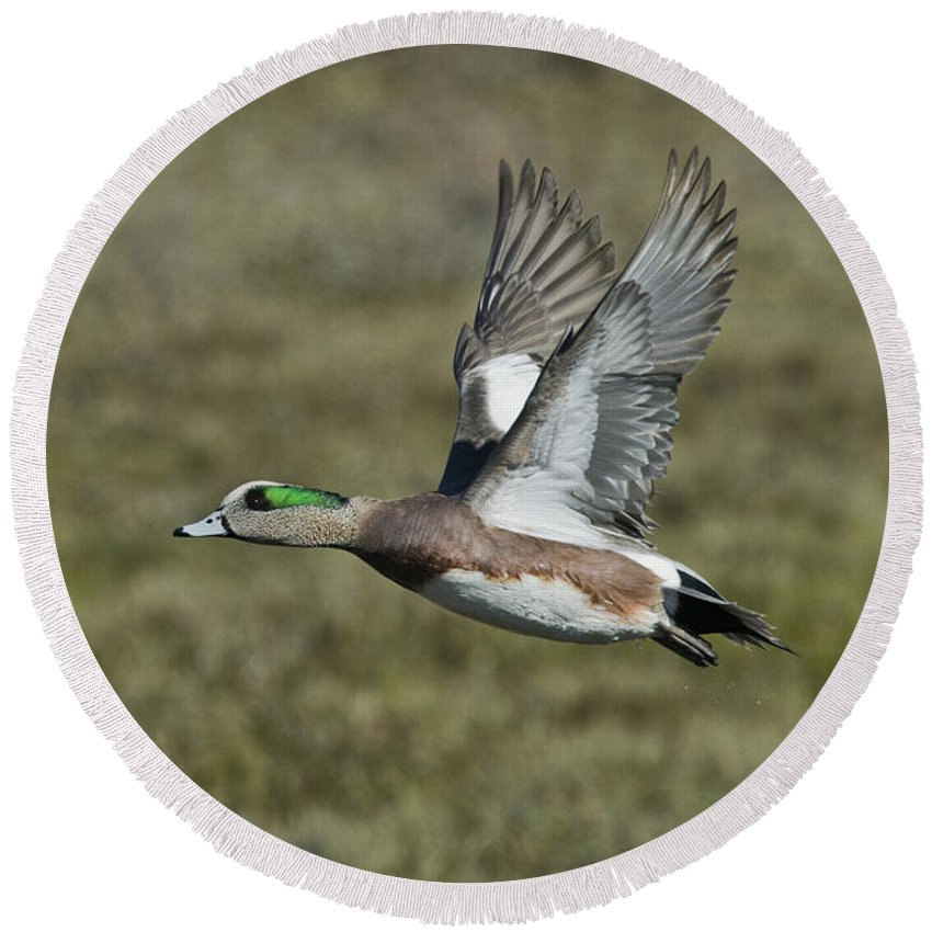 American Wigeon Round Beach Towel featuring the photograph American Wigeon Drake by Anthony Mercieca
