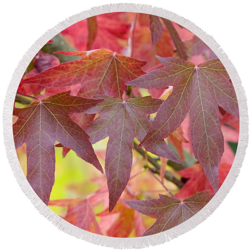 Liquidambar Round Beach Towel featuring the photograph Autumnal Liquidambar Leaves by Lee Avison