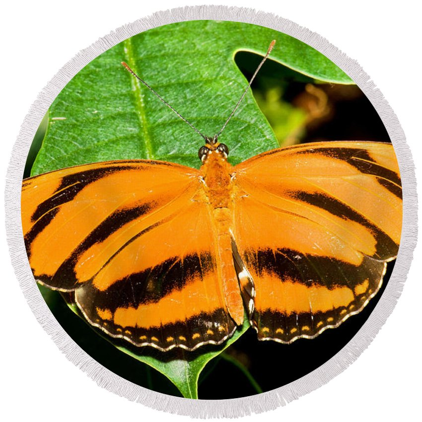 Animal Round Beach Towel featuring the photograph Banded Orange Butterfly by Millard H. Sharp