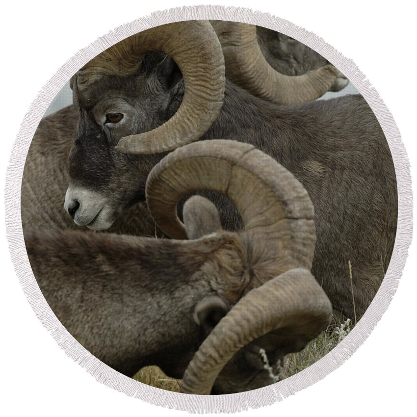 Big Horn Sheep Round Beach Towel featuring the photograph Big Horn Sheep by Bob Christopher