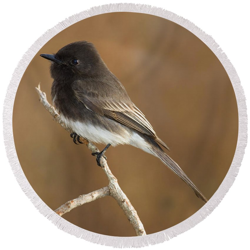 Fauna Round Beach Towel featuring the photograph Black Phoebe by Anthony Mercieca