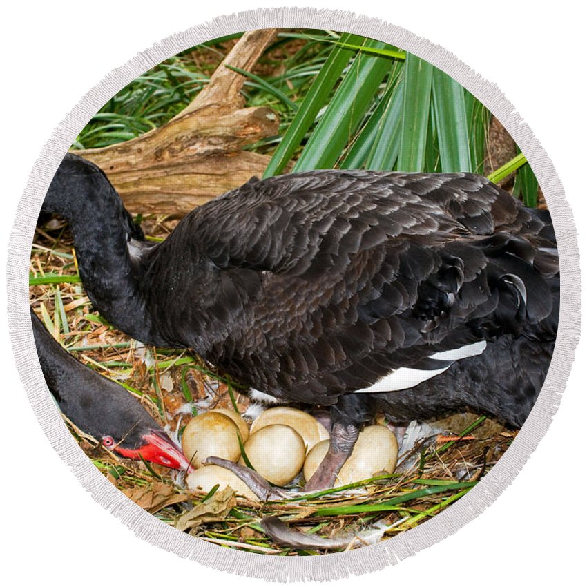 Nature Round Beach Towel featuring the photograph Black Swan At Nest by Millard H. Sharp