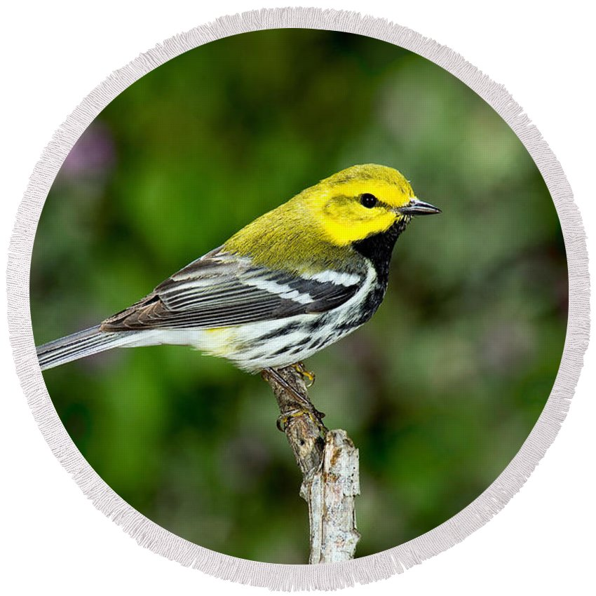 Black-throated Green Warbler Round Beach Towel featuring the photograph Black Throated Green Warbler by Anthony Mercieca