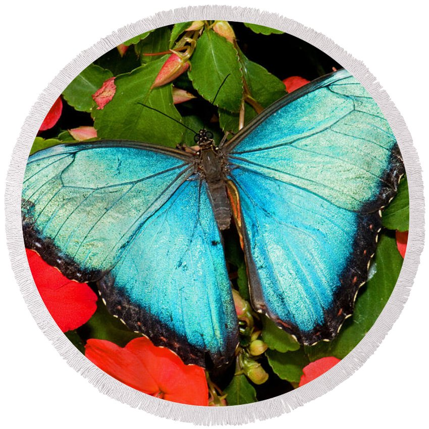 Nature Round Beach Towel featuring the photograph Blue Morpho Butterfly by Millard H. Sharp