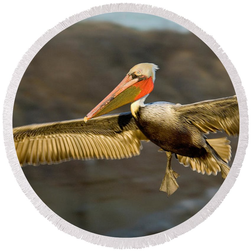 Brown Pelican Round Beach Towel featuring the photograph Brown Pelican In Flight by Anthony Mercieca
