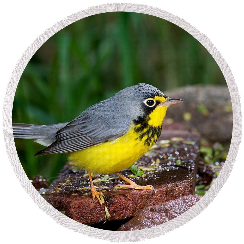 Canada Warbler Round Beach Towel featuring the photograph Canada Warbler by Anthony Mercieca