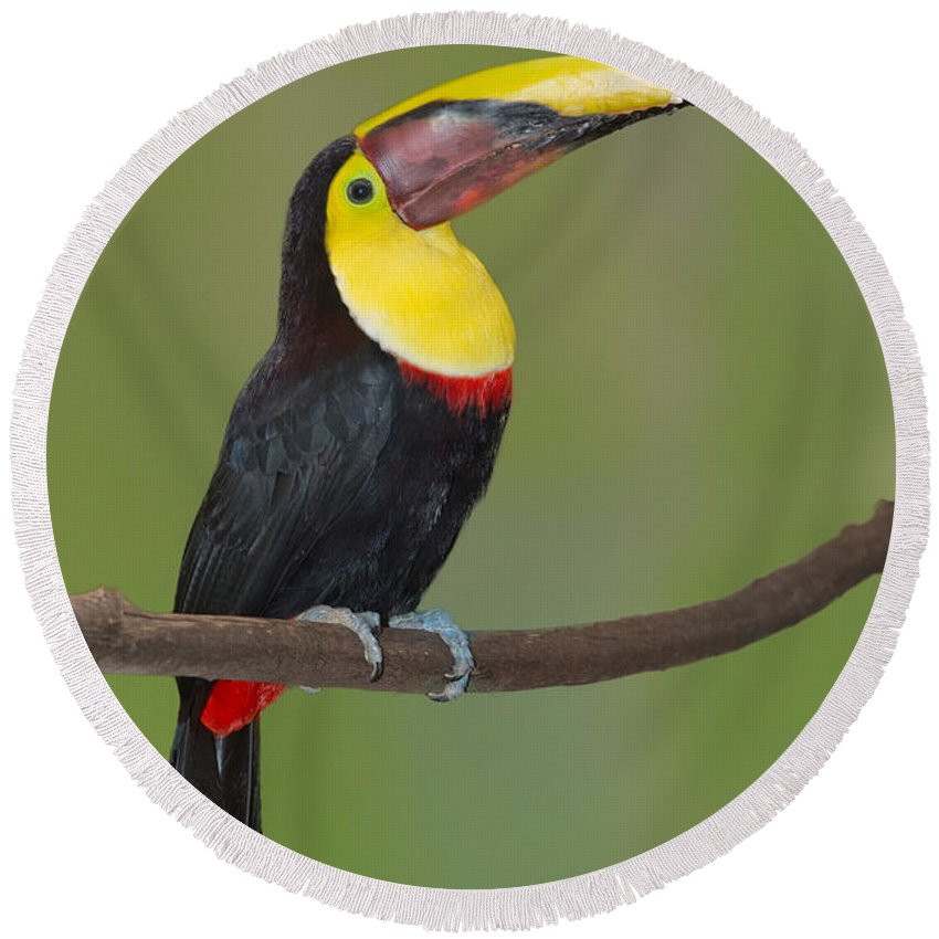 Animal Round Beach Towel featuring the photograph Chestnut-mandibled Toucan by Anthony Mercieca