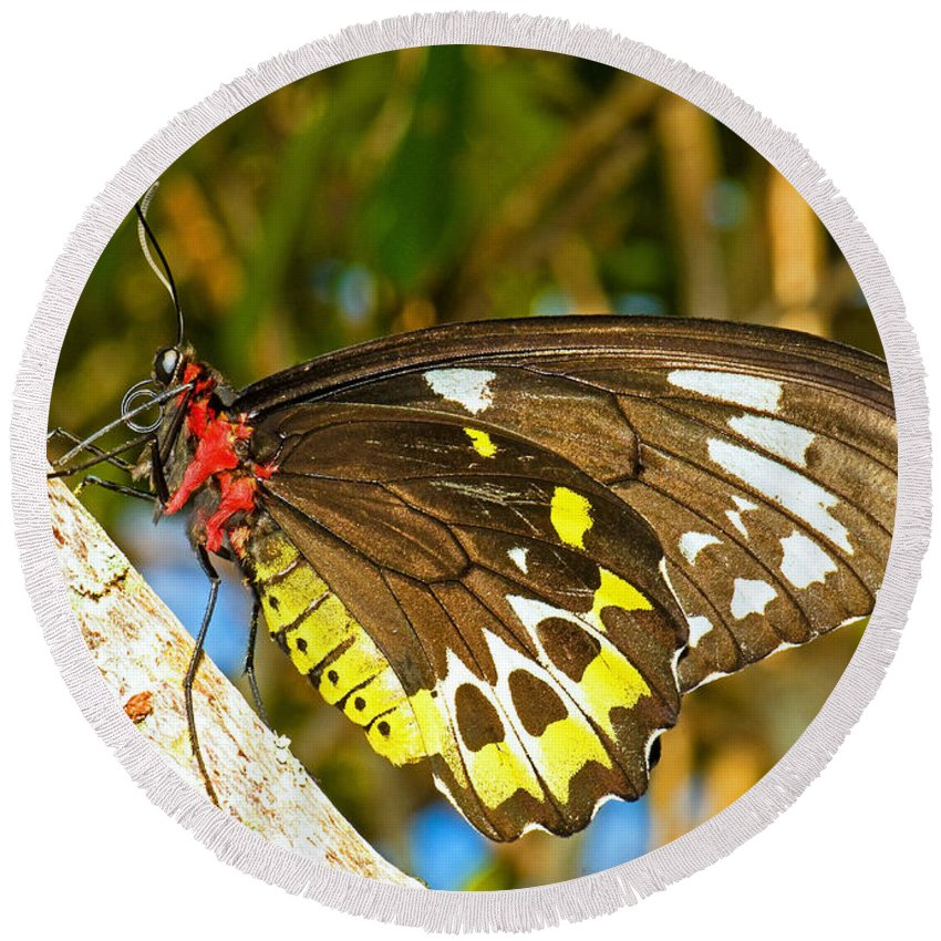 Tropical Butterfly Round Beach Towel featuring the photograph Common Birdwing Butterfly by Millard H. Sharp