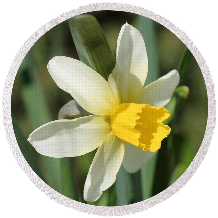 Mccombie Round Beach Towel featuring the photograph Cyclamineus Daffodil Named Jack Snipe by J McCombie