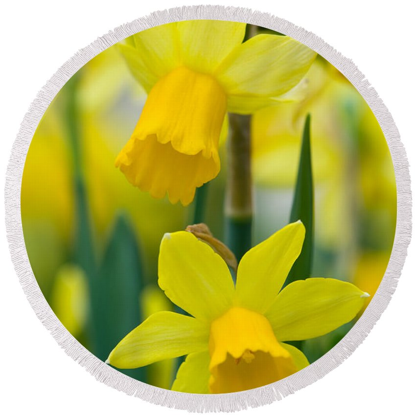 Daffodil Round Beach Towel featuring the photograph Daffodils by Lee Avison