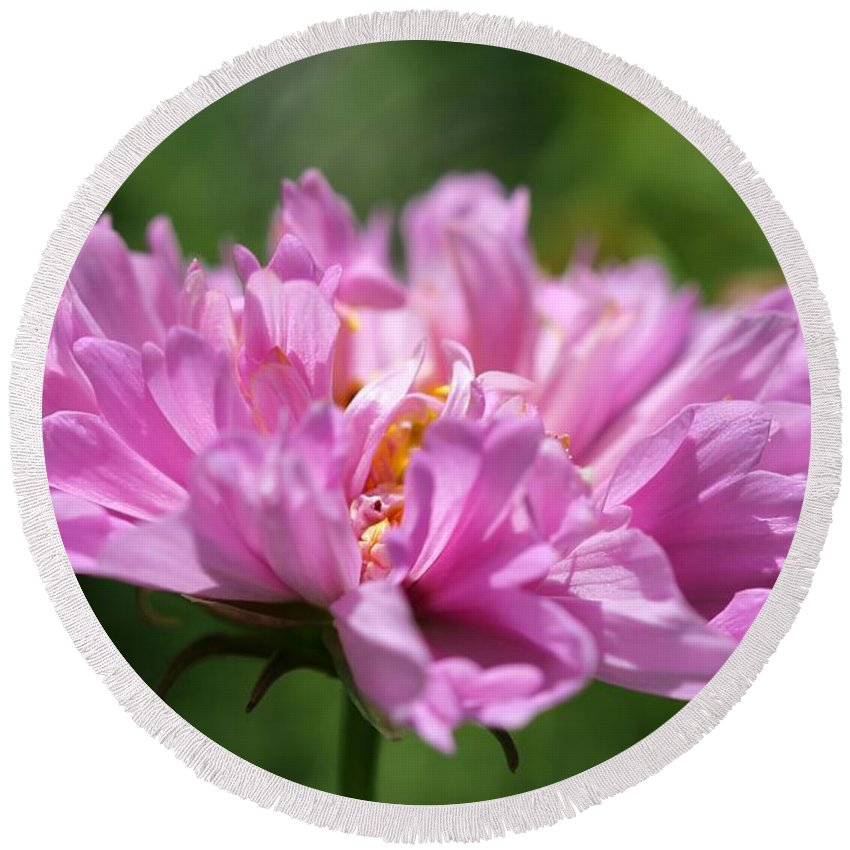 Mccombie Round Beach Towel featuring the photograph Double Click Cosmos Named Rose Bonbon by J McCombie