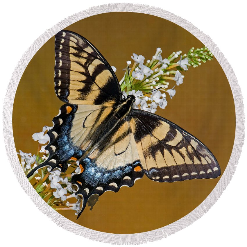 Animal Round Beach Towel featuring the photograph Eastern Tiger Swallowtail Butterfly by Millard H. Sharp