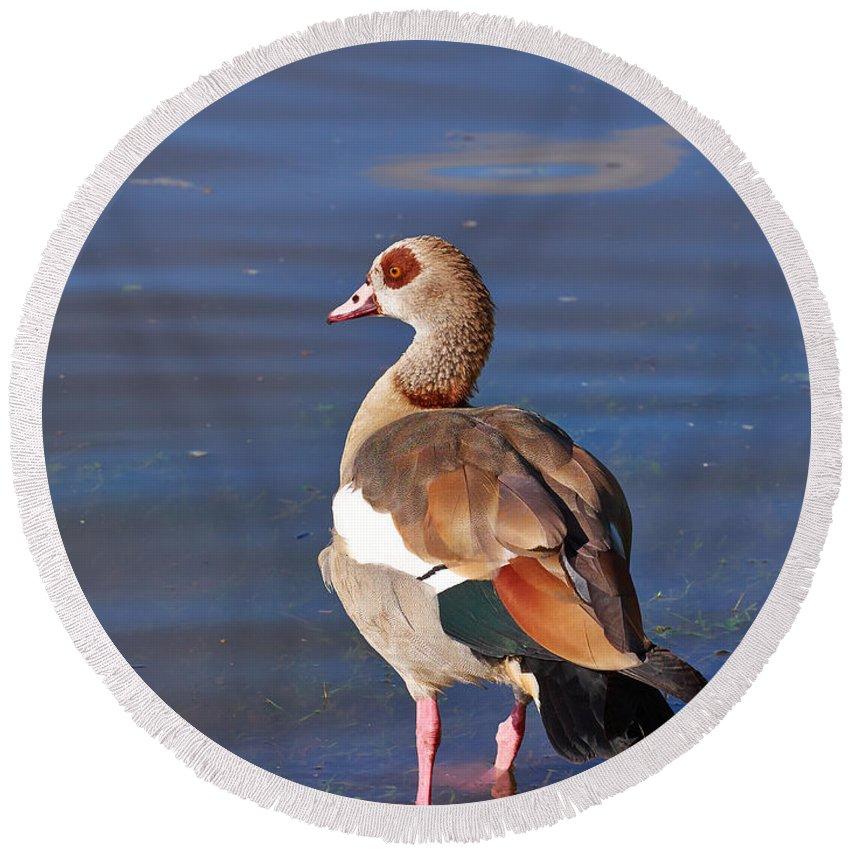Alankomaat Round Beach Towel featuring the photograph Egyptian Goose by Jouko Lehto