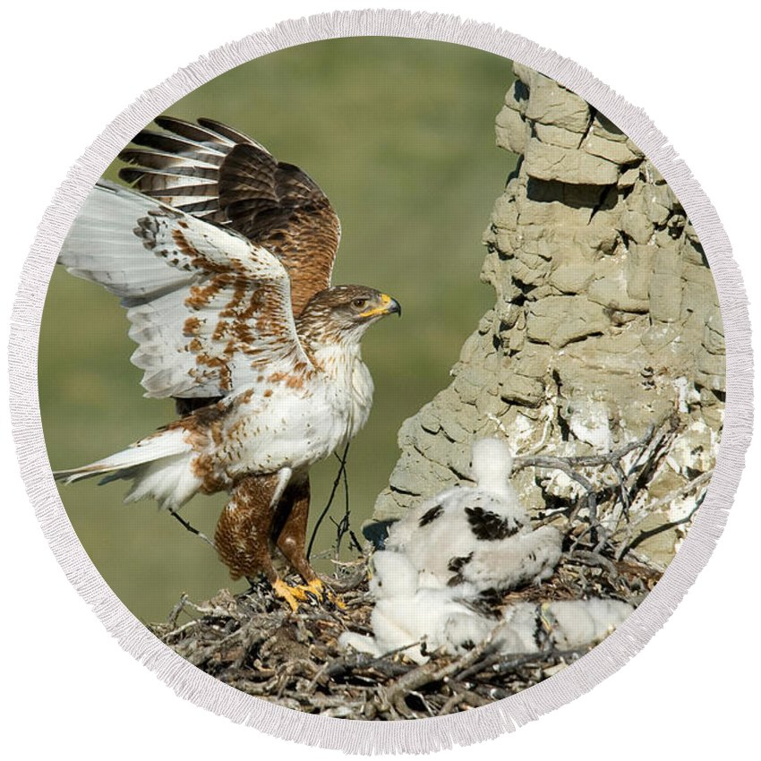 Fauna Round Beach Towel featuring the photograph Ferruginous Hawk And Chicks by Anthony Mercieca