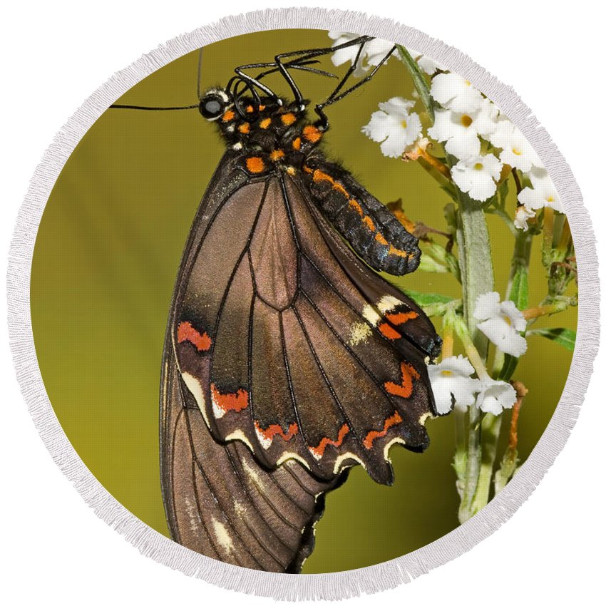 Animal Round Beach Towel featuring the photograph Gold Rim Swallowtail Butterfly by Millard H. Sharp