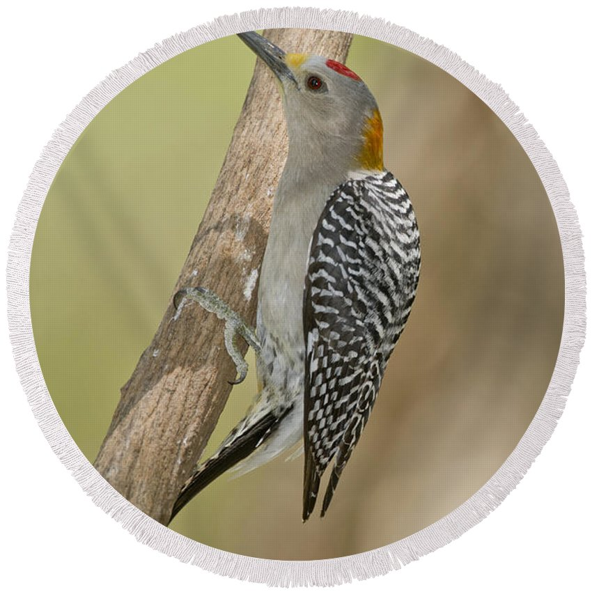 Golden-fronted Woodpecker Round Beach Towel featuring the photograph Golden-fronted Woodpecker by Anthony Mercieca