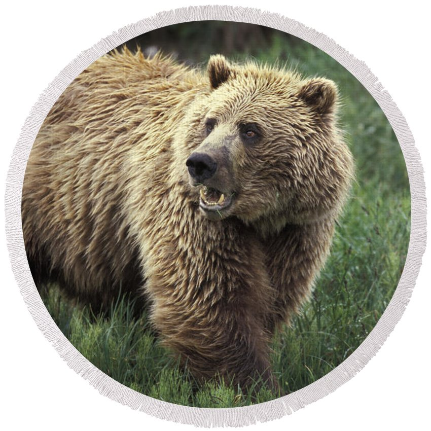 Animal Round Beach Towel featuring the photograph Grizzly Bear by Ron Sanford