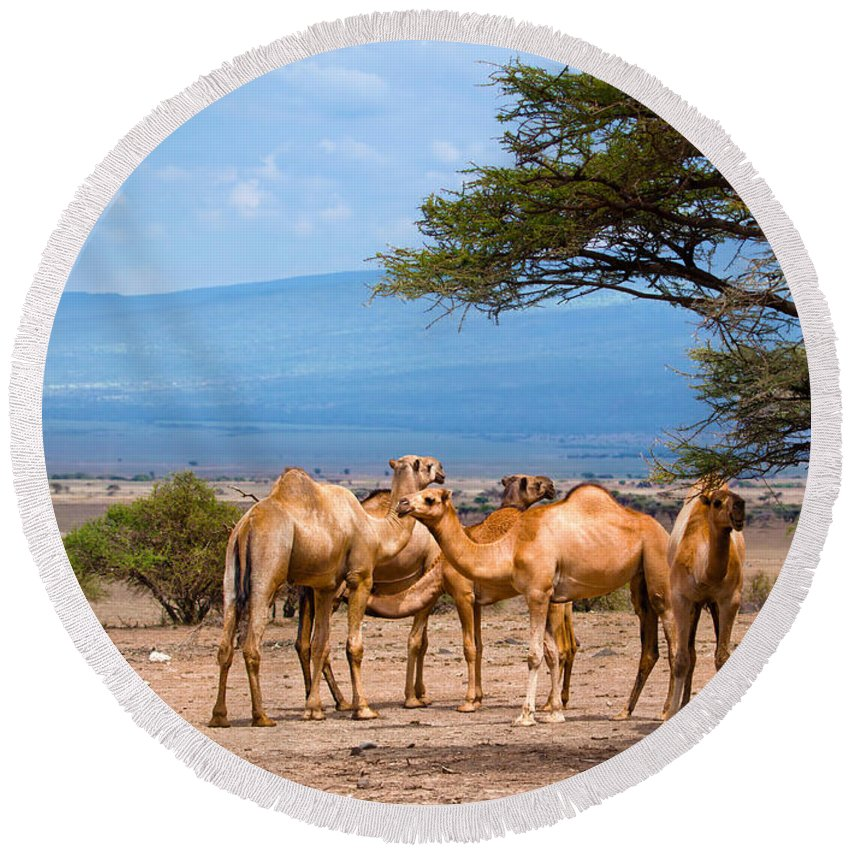 Camel Round Beach Towel featuring the photograph Group Of Camels In Africa by Michal Bednarek