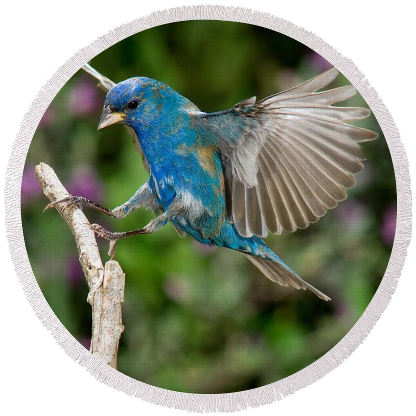Fauna Round Beach Towel featuring the photograph Indigo Bunting by Anthony Mercieca