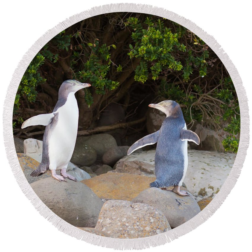 South Island Round Beach Towel featuring the photograph Juvenile Nz Yellow-eyed Penguins Or Hoiho On Shore by Stephan Pietzko