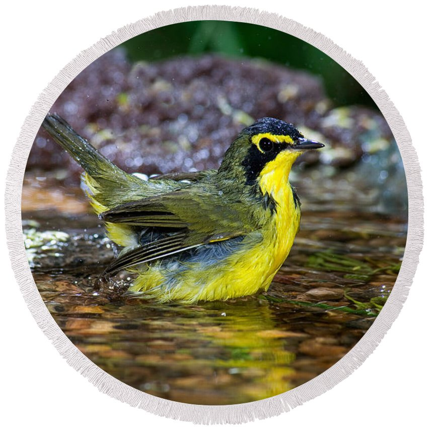 Kentucky Warbler Round Beach Towel featuring the photograph Kentucky Warbler by Anthony Mercieca