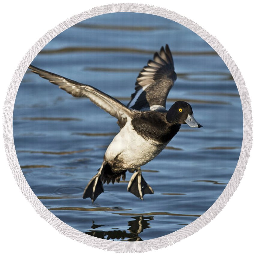 Lesser Scaup Round Beach Towel featuring the photograph Lesser Scaup Drake by Anthony Mercieca