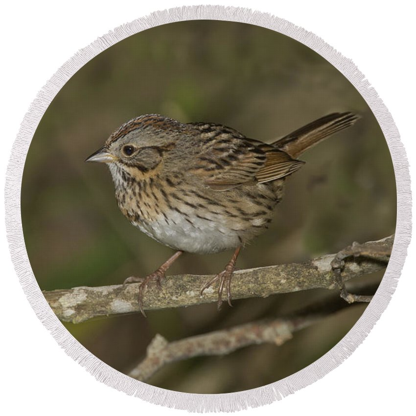 Lincoln's Sparrow Round Beach Towel featuring the photograph Lincolns Sparrow by Anthony Mercieca