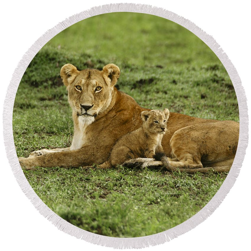Lion Round Beach Towel featuring the photograph Mama's Little Baby by Michele Burgess