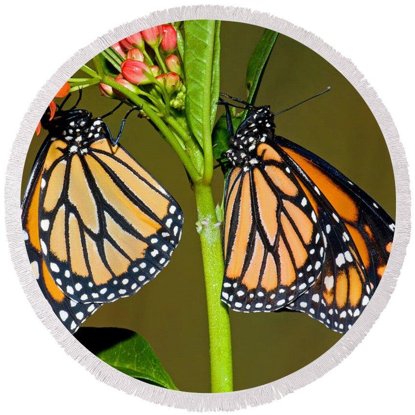 Animal Round Beach Towel featuring the photograph Monarch Butterflies by Millard H. Sharp