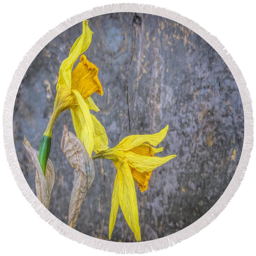 Daffodils Round Beach Towel featuring the photograph 2 Old Daffodils by David Stone