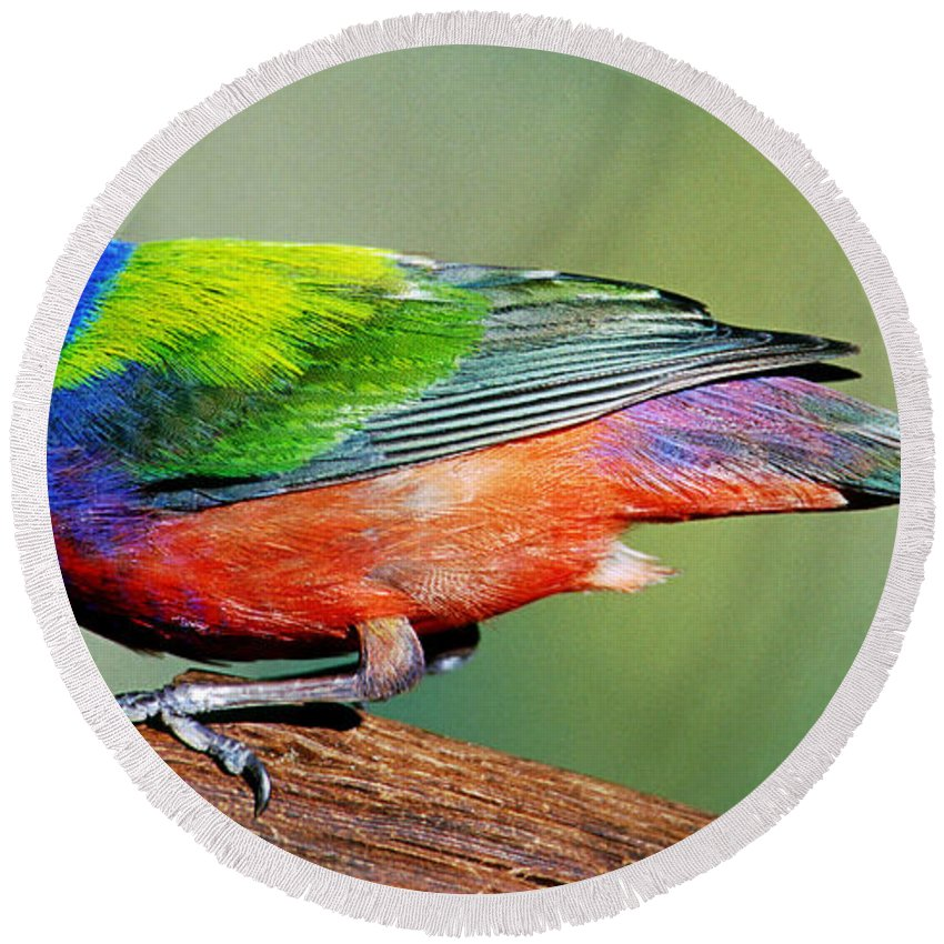 Fauna Round Beach Towel featuring the photograph Painted Bunting Passerina Ciris by Millard H. Sharp