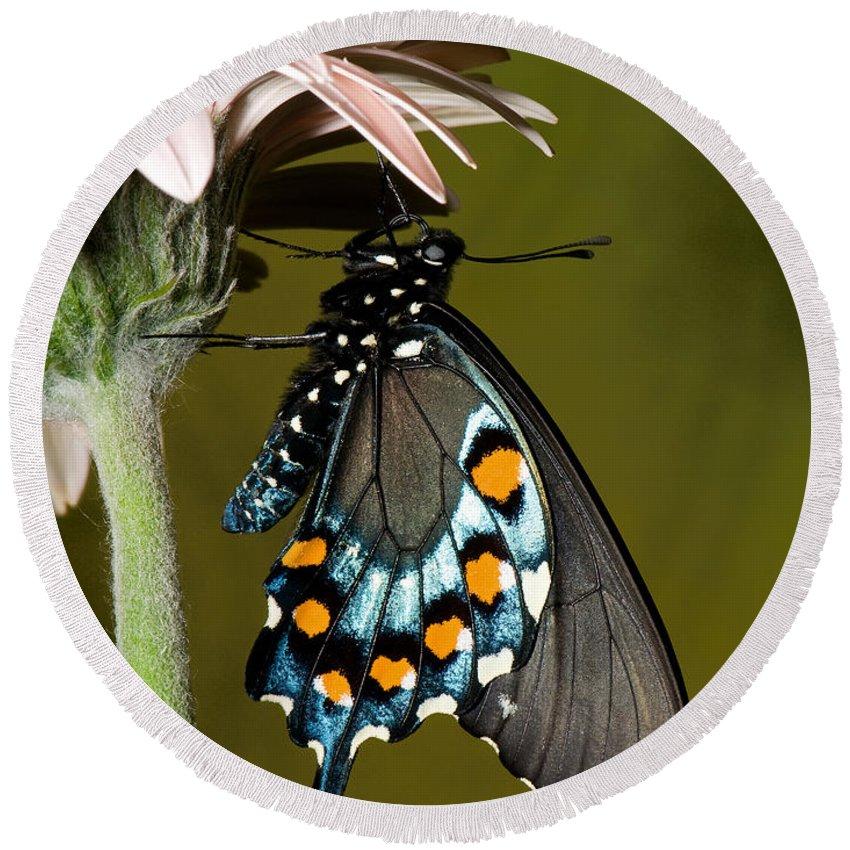 Pipevine Swallowtail Butterfly Round Beach Towel featuring the photograph Pipevine Swallowtail Butterfly by Millard H. Sharp