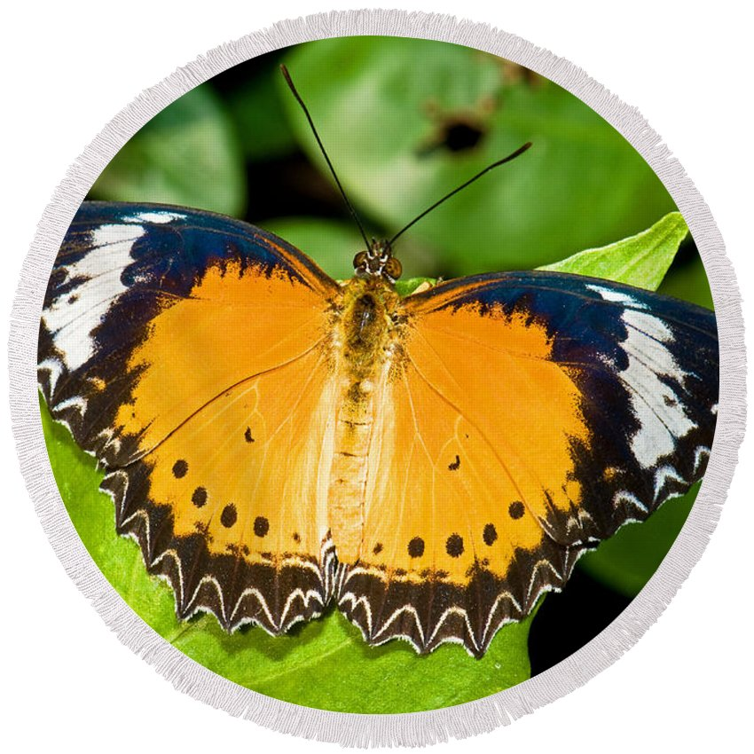 Nature Round Beach Towel featuring the photograph Plain Tiger Butterfly by Millard H. Sharp