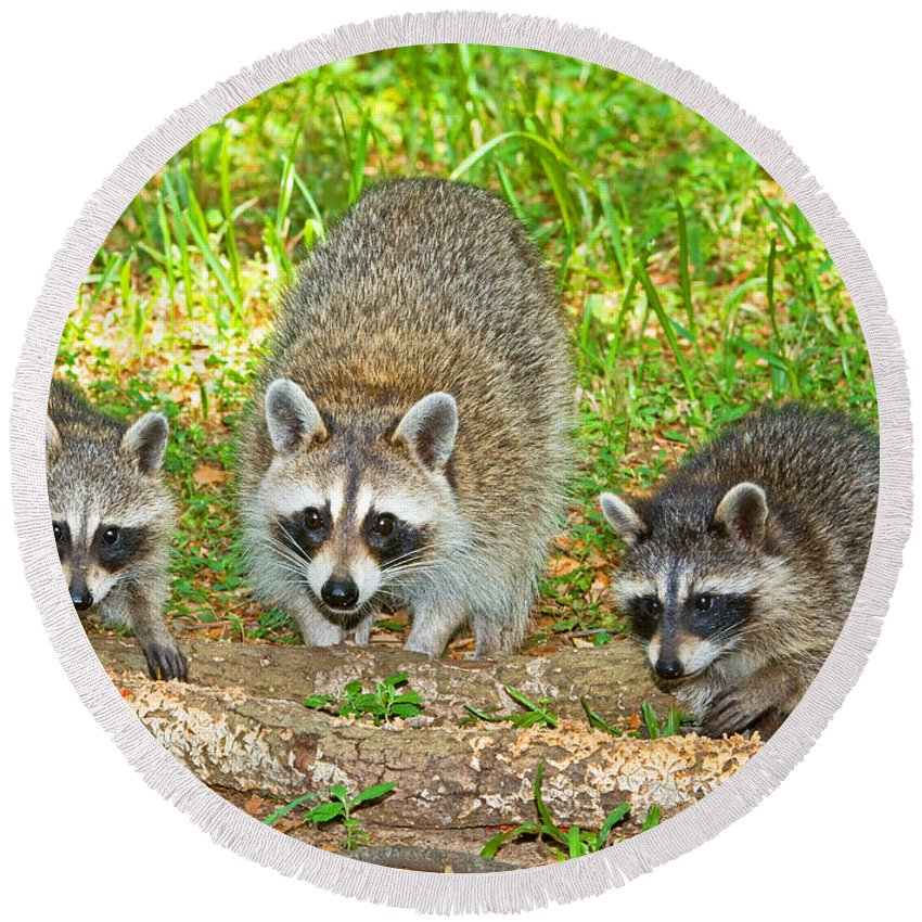 Nature Round Beach Towel featuring the photograph Raccoons by Millard H. Sharp