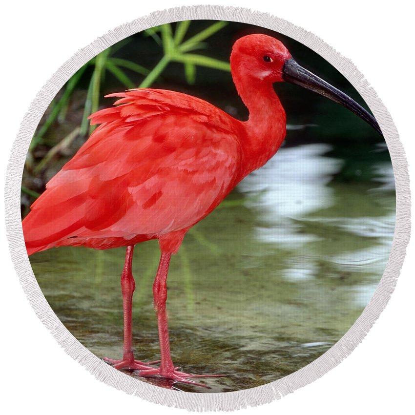 Fauna Round Beach Towel featuring the photograph Scarlet Ibis by Millard H Sharp