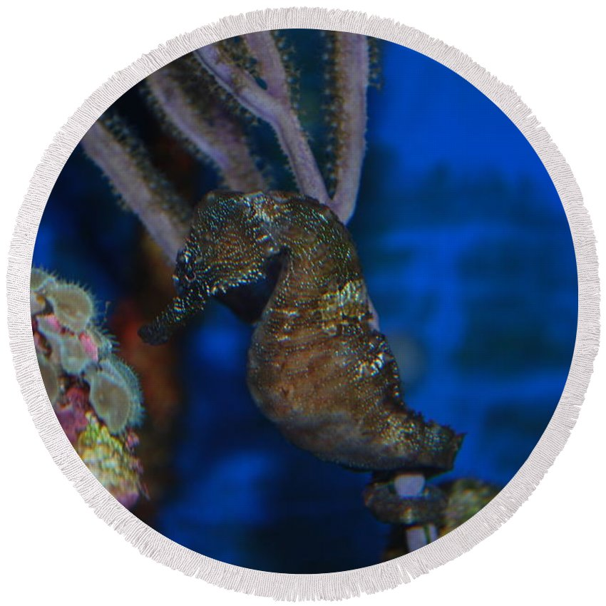 Taken Through Side Of Aquarium Round Beach Towel featuring the photograph Seahorse And Coral by Robert Floyd