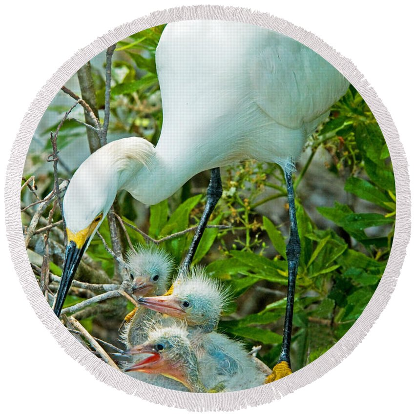Fauna Round Beach Towel featuring the photograph Snowy Egret Tending Young by Millard H. Sharp