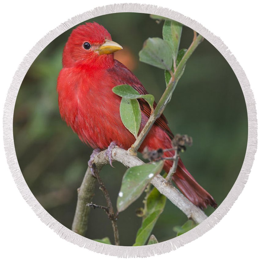 Summer Tanager Round Beach Towel featuring the photograph Summer Tanager by Anthony Mercieca
