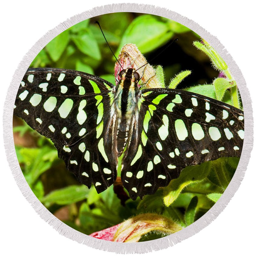 Nature Round Beach Towel featuring the photograph Tailed Jay Butterfly by Millard H. Sharp