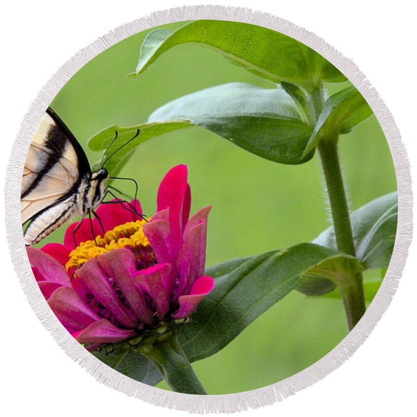 Color Round Beach Towel featuring the photograph Tiger Swallowtail Butterfly On Zinnia by A Gurmankin