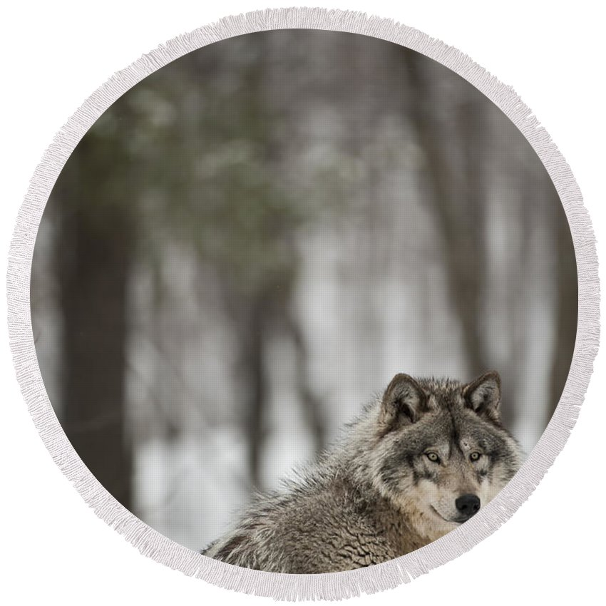 Timber Wolf Photography Round Beach Towel featuring the photograph Timber Wolf In Winter by Wolves Only
