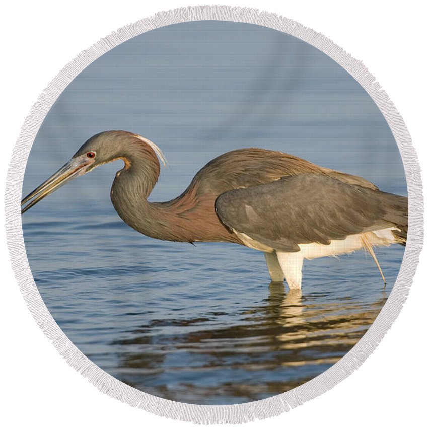 Fauna Round Beach Towel featuring the photograph Tri-colored Heron by Anthony Mercieca