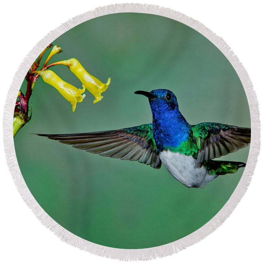 White-necked Jacobin Round Beach Towel featuring the photograph White-necked Jacobin by Anthony Mercieca