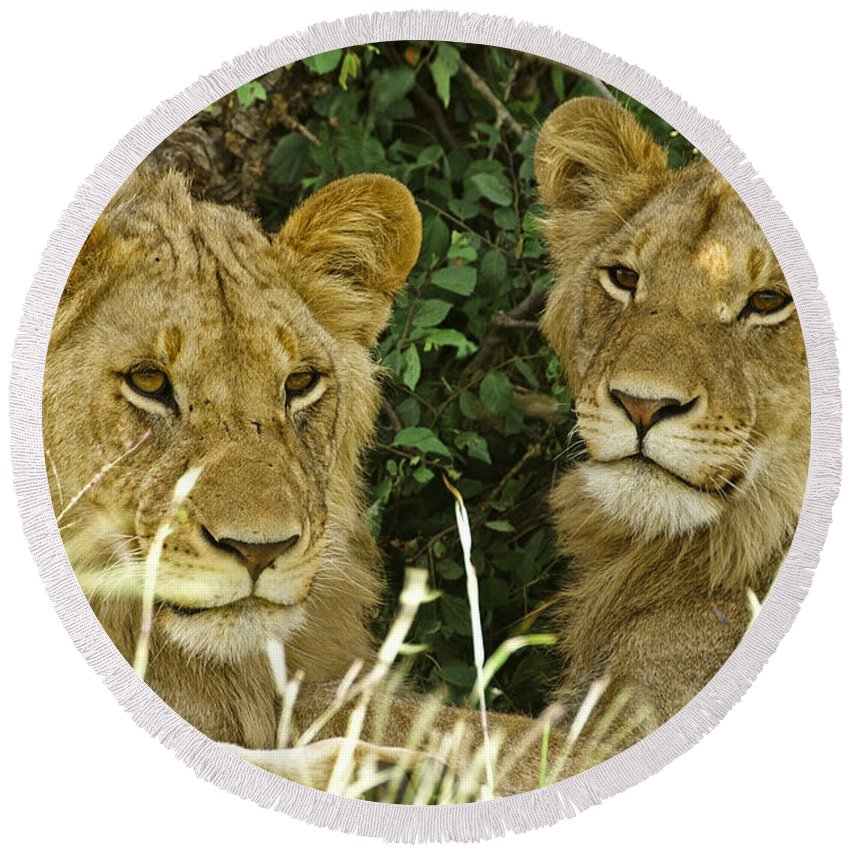 Lion Round Beach Towel featuring the photograph Young Brothers by Michele Burgess